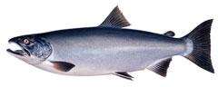 coho-salmon